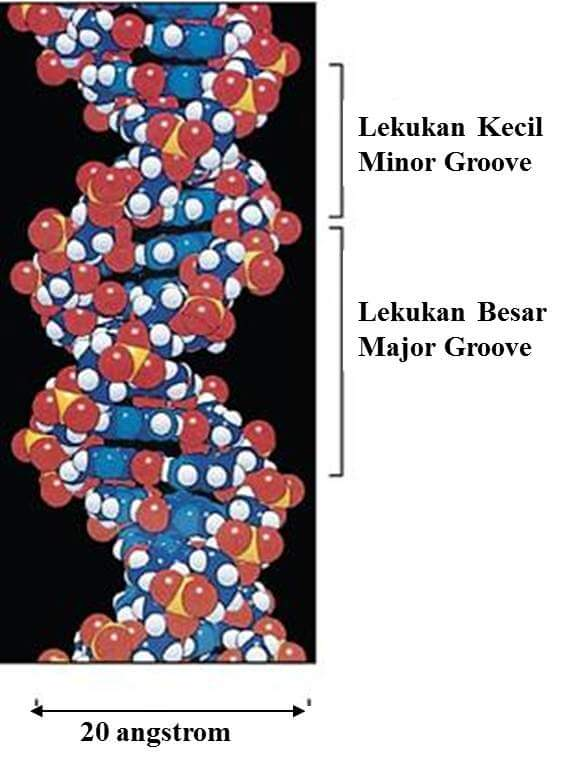 minor-major-groove-model-struktur-dna